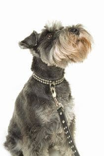 Crown Collar and Lead Set
