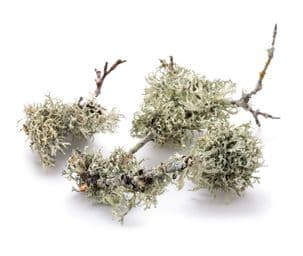 Oakmoss Absolute - 50% in Jojoba
